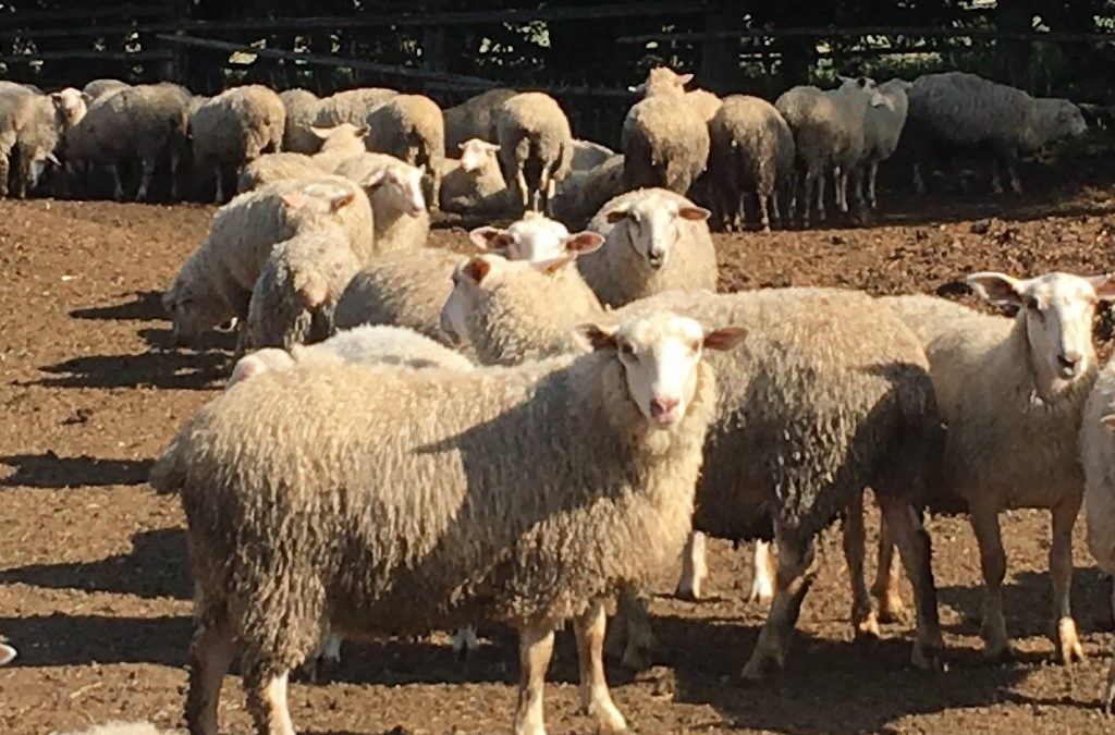 Rideau ewe lambs for sale