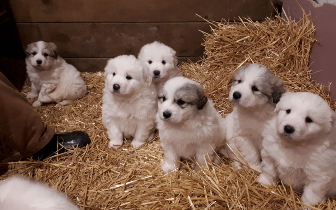 9 Purebred Great Pyrenees Puppies For Sale