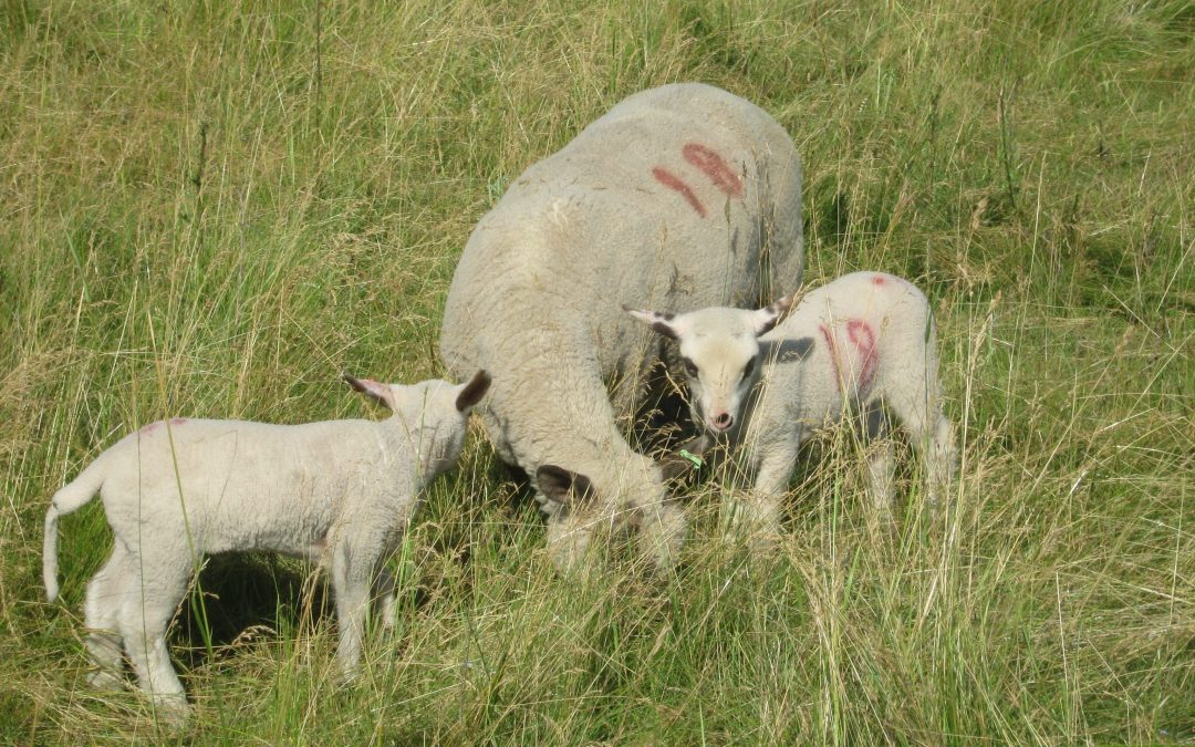 Wanted: A self-motivated, eager person to help during our lambing season