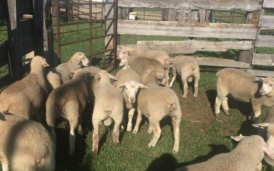 Purebred Canadian Arcott Ram and Ewe lambs for sale
