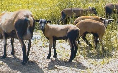 Purebred & Registered American Blackbelly Lambs for Sale
