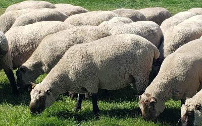 For Sale: 7 pure bred Clun Forest Rams