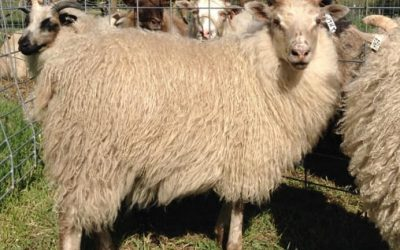 Purebred Icelandic Ram Lambs and Ewe Lambs For Sale