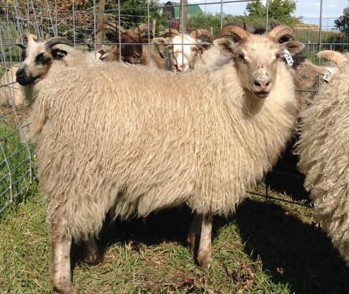 Purebred Icelandic Ram Lambs and Ewe Lambs For Sale