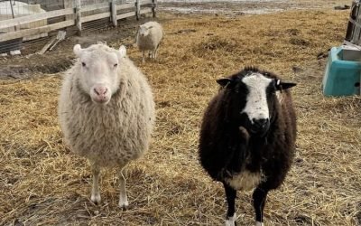For Sale Pure bred Finn Rams