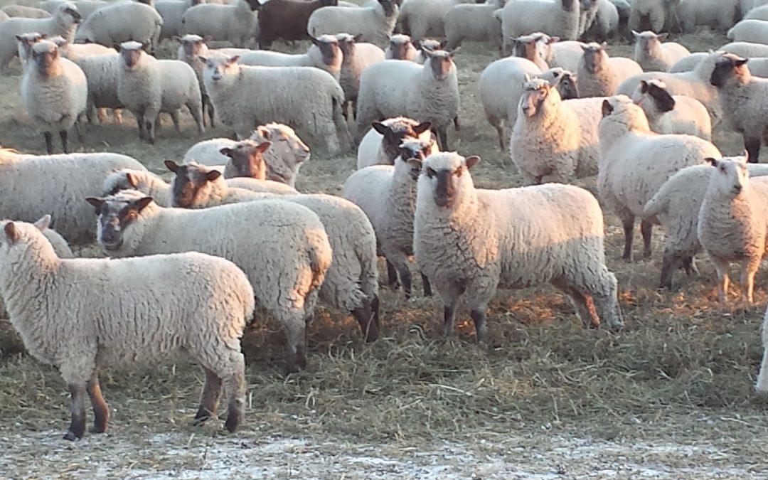 400 open Clun Forest Cross Ewe Lambs