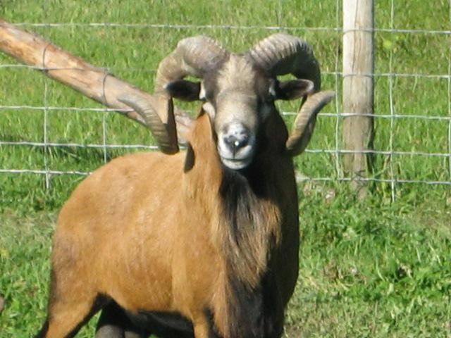 For Sale:Flock of purebred registered American Blackbelly sheep